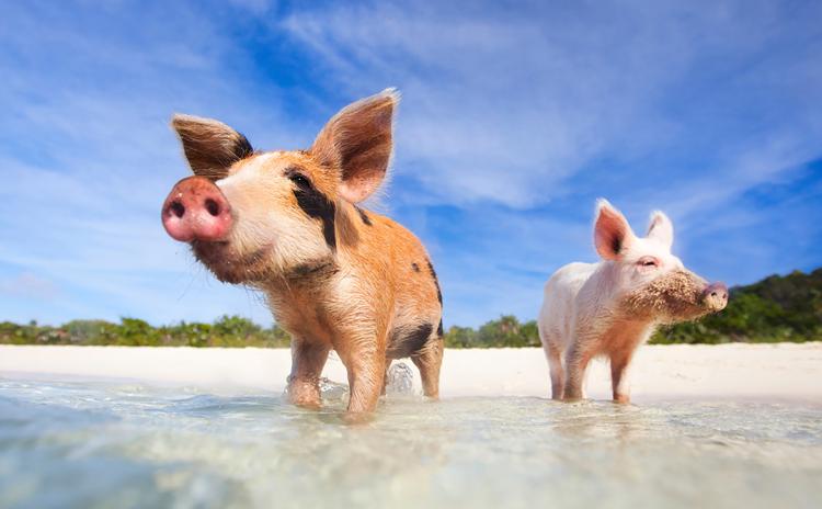 рожденные в год свиньи характеристика